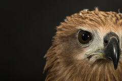 Close up red Hawk. Royalty Free Stock Photos