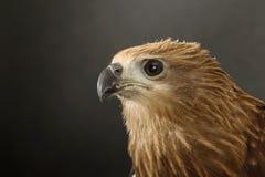 Close up red Hawk. Stock Photos
