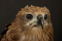 Close up red Hawk. Stock Images