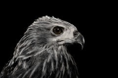 Close up red Hawk. Stock Image