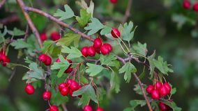 Close up of red hawthorn berries at autumn-time