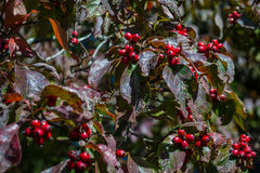 Close-up of a red Hawthorn berry pattern. Healthy red berries of the hawthorn tree Stock Photo
