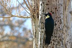 Close-up of Red Headed Woodpecker on a tree trunk Stock Photo