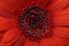 Close-up of Red heart of flower and petals Stock Image