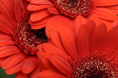 Close-up of Red heart of flower and petals Royalty Free Stock Photography