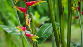 Close up of Red Heliconia flower in wet season rain. Lush green plants foliage after tropical rain stock video