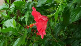 Close up on red hibicus. Close up on red hibicus flowers in nature stock video