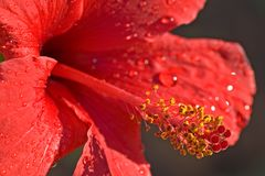 Close up of a red Hibiscus Royalty Free Stock Photo