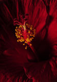 Close up of red hibiscus flower Stock Photos