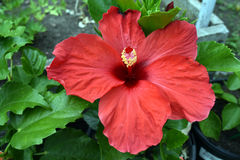 close up red hibiscus flower Stock Image