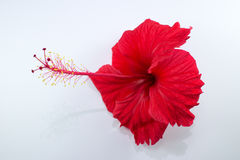 Close up of Red Hibiscus rosa Flower  Stock Photography