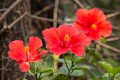 Close up of red Hibiscus rosa-sinensis