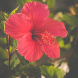 Red Hibiscus Close-up. Close-up of Red Hibiscus Tropical Flower Royalty Free Stock Images