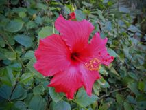 Close up of a red Hibiscus which is a genus of flowering plant in the mallow family, Malvaceae. In Arizona USA Stock Photo