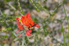 Close up of red hot Indian paintbrush, California stock photo