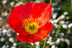 Close up of a red Iceland poppy Stock Photography