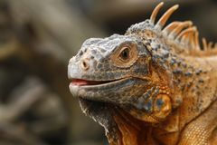 Close up of Red Iguana, Iguana iguana royalty free stock photography