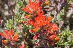 Close up of red Indian paintbrush Castilleja wildflowers, Pinnacles National Park, California stock photos