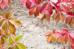 Close-up of a red ivy leaves Royalty Free Stock Photos