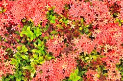 Close up of Red Ixora in top view, West Indian Jasmine Stock Photo