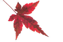 Close up of a red japanese maple leaf Royalty Free Stock Photography