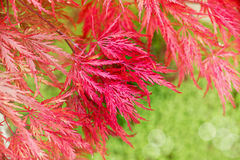 Close up of red japanese maple tree Stock Image
