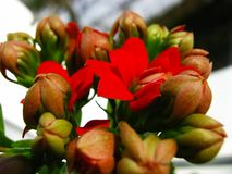Red kalanchoe flower with green on the window stock photography