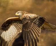 A close-up of a Red Kite in flight Royalty Free Stock Photography