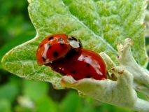 Close up of red ladybugs coupling on bright green leaf. Macro close up of red ladybugs coupling on bright green leaf with blurry background. nature photography royalty free stock images