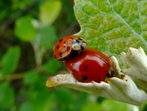 Close up of red ladybugs coupling on bright green leaf. Macro close up of red ladybugs coupling on bright green leaf with blurry background. nature photography stock image