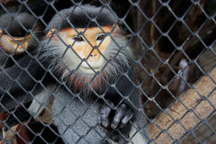 Close up red langur monkey catch green leaf Royalty Free Stock Photos
