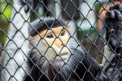 Close up red langur monkey in zoo cage Royalty Free Stock Photo
