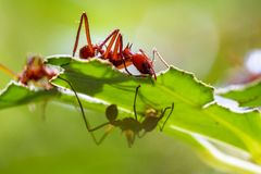 Leaf cutter ants. Close up of red leaf cutter ants focussed on stripping down the fresh greens on the plants in tropical Costa Rica stock photography