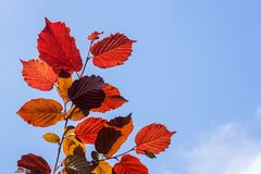 Close-up of red leaf hazel or corylus on a background of blue sky on a sunny summer day. Ornamental trees and shrubs. Close-up of red leaf hazel or corylus on a stock image