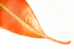 Close up of red leaf on white background. A close up view of a leaf from the evergreen tree Photinia robusta Stock Photo