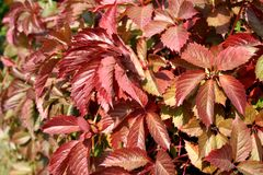 Close-up of red leaves of autumnal wild grapes. On a sunny afternoon Stock Photos