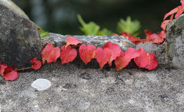 Close up of red leaves Royalty Free Stock Photography
