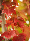 Close-up of red leaves on maple tree Stock Images