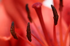 Close up of red lily Stock Photo