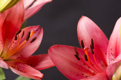 Close up red lily Stock Photography