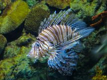 Close up on a red lionfish - coral reef fish in large aquarium royalty free stock photography