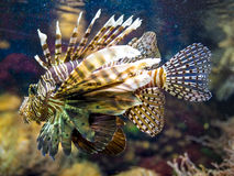 Close up of a red lionfish Royalty Free Stock Image