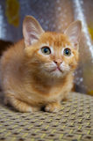 Close-up of red little kitten looking up Stock Image