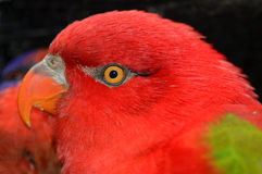 Close-up of a red Lorikeet Royalty Free Stock Photos
