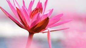 Close up red lotus in swamp