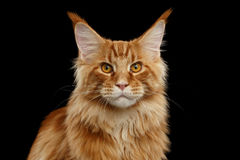Close-up Red Maine Coon Cat Looks Camera, Isolated Black Background Royalty Free Stock Photos