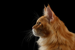 Close-up Red Maine Coon Cat in Profile view, Isolated Black Stock Photos
