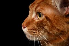 Close-up red Maine Coon. Male Maine Coon cat ginger tabby on black background Royalty Free Stock Photo