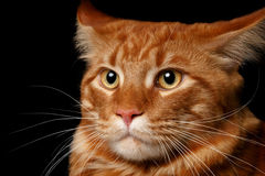 Close-up red Maine Coon. Male Maine Coon cat ginger tabby on black background Royalty Free Stock Photography