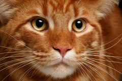Close-up red Maine Coon. Male Maine Coon cat ginger tabby on black background Royalty Free Stock Photos